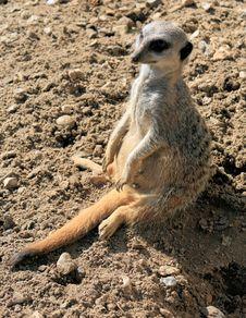 Free Meerkat 3 Royalty Free Stock Photos - 8883988