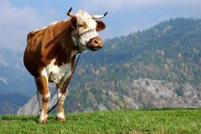 Free Curious Cow Royalty Free Stock Photography - 8884287