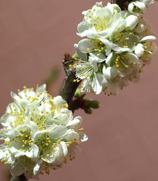 Free Blooming Plum Blossoms Royalty Free Stock Photos - 8885588