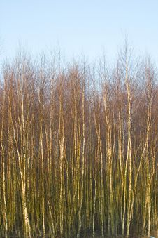 Birches Royalty Free Stock Photo