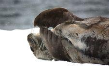 Free SEAL Royalty Free Stock Image - 8886376