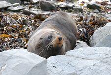 Free NZ South - Seals Stock Photo - 8886900