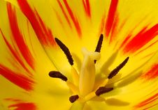 Closeup Of  Tulip Stock Image