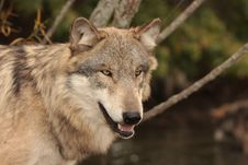 Free Wolf Canis Lupus Stock Photos - 8888213
