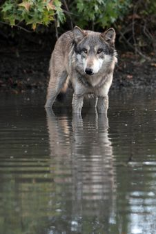 Free Wolf Canis Lupus Stock Photos - 8888233
