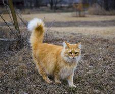 Orange Tabby Farmyard Cat Stock Photos
