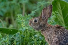 Free Brown Rabbit On Green Grass Royalty Free Stock Images - 88815519