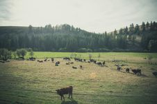 Free Cows On Pasture Royalty Free Stock Images - 88893779