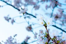 Free White Spring Blossoms Royalty Free Stock Photos - 88895468
