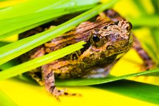 Free Brown And Black Frog Lying On A Green Leaf Royalty Free Stock Photography - 88899697