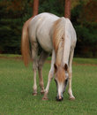 Free Grey Arabian Filly Grazing Royalty Free Stock Photography - 8896307