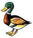 Free Brown Wild Duck Stock Photo - 8896560