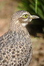 Free Spotted Thick Knee Stock Photography - 8897072