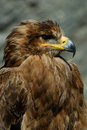 Free Steppe Eagle Stock Image - 8897421