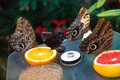 Free Butterfly Feeding Royalty Free Stock Image - 8899016