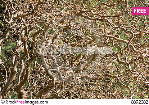Free Twisted Willow Tree Stock Photography - 8892382