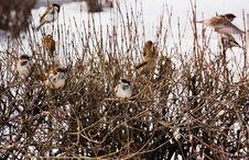 Free Sparrow On A Branch Royalty Free Stock Images - 8890679