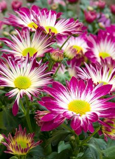 Blooming Asters Stock Image