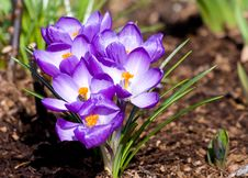 Free Blooming Crocus Cluster Stock Photography - 8892052