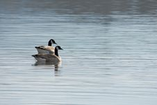 Free Two Canada Geese Royalty Free Stock Image - 8892396