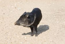 Free Little Pig Royalty Free Stock Photo - 8893095