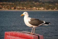 Free Sea Gull Stock Image - 8893841