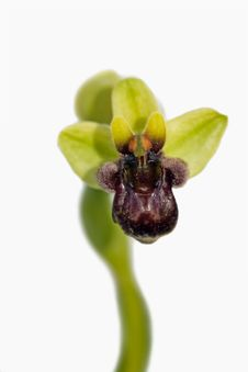 Free Bumblebee Orchid Stock Image - 8894341