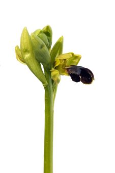 Free Wild Brown Bee Orchid Stock Photos - 8894343