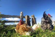 Chickens On A Farm In Summer With A Blue Sky Royalty Free Stock Photo