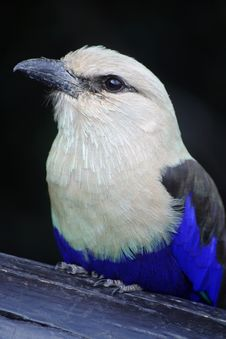 Free Blue Billed Roller Royalty Free Stock Photo - 8896495