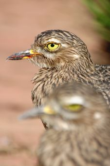 Spotted Thick Knee Pair Stock Photo