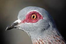 Free Rock Pigeon Stock Photo - 8896540