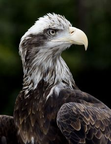 Free Young American Eagle Royalty Free Stock Photography - 8896837