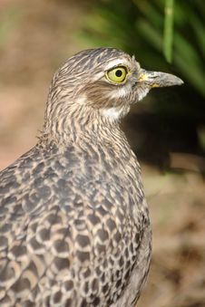 Spotted Thick Knee Stock Photography