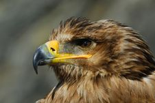 Free Steppe Eagle Royalty Free Stock Image - 8897316