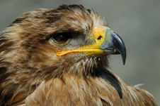 Free Steppe Eagle Royalty Free Stock Images - 8897399