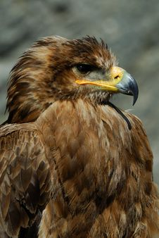 Free Steppe Eagle Stock Image - 8897421