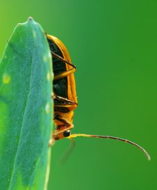 Free Beetle Royalty Free Stock Photography - 8897707