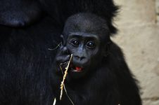 Free Baby Gorilla Royalty Free Stock Photo - 8897745
