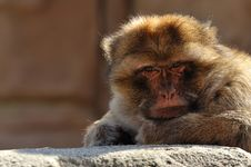 Free Barbary Ape Royalty Free Stock Photos - 8897748