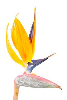 Free Bird Of Paradise Flower, Strelitzia Royalty Free Stock Photo - 8898685
