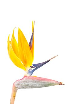 Free Bird Of Paradise Flower, Strelitzia Royalty Free Stock Photography - 8898687