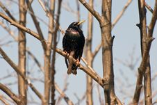 Free Starling Stock Photography - 8899382
