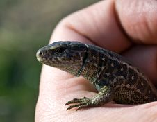 Free Little Lizard Royalty Free Stock Images - 8899399