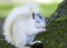 Free White Squirrel And Food Royalty Free Stock Photography - 8899637