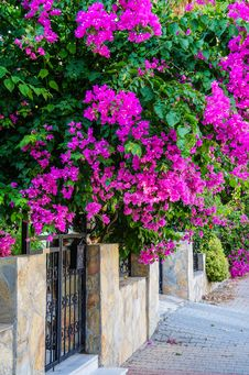 Free Turkey. Summer 2015. The Bougainvillea Flowers In The City Streets Royalty Free Stock Image - 88940736