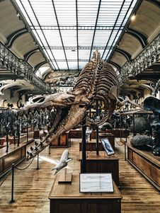 Free Dinosaur Skeleton On Museum Stock Photos - 88981933