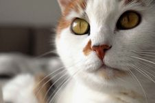 Free Closeup Portrait Of Cat Stock Photos - 88982433