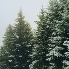 Free Snow Covered Fir Trees In Winter Stock Image - 88985601