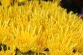 Free Yellow Chrysanthemums Stock Image - 891081